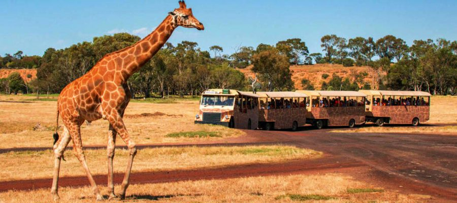 """alt=""""Tour Tram out in the open with a giraffe in the fore front"""""""
